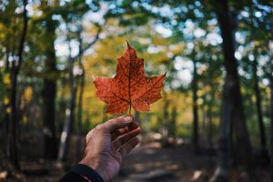 A person looking at a maple leaf in a park while trying to find out how to adapt quickly.